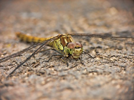 Dragonfly, Wings, Insect, Nature, Bug, Macro, Green