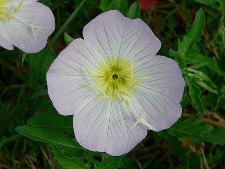 Cutleaf Evening Primrose, Primrose, Pink, Yellow
