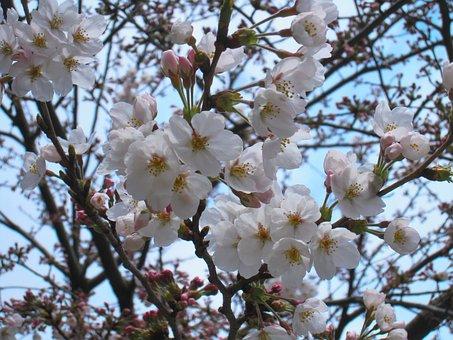 Cherry, Cherry Blossoms, Yoshino Cherry Tree, Tree