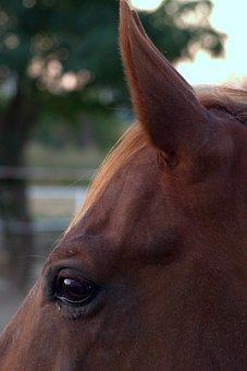 The Horse, Eye, Ear, Snout, Ears, Animal, Horse Head