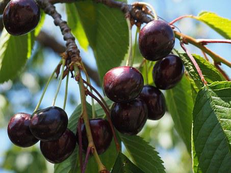 Cherries, Purple, Black, Over Ripe, Fruits, Fruit, Red