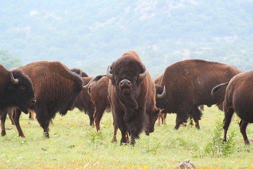 Buffalo, Oklahoma, Bison, American, Wild, West, Native
