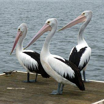 Pelicans, Pelican, Water Bird, Australian Pelican