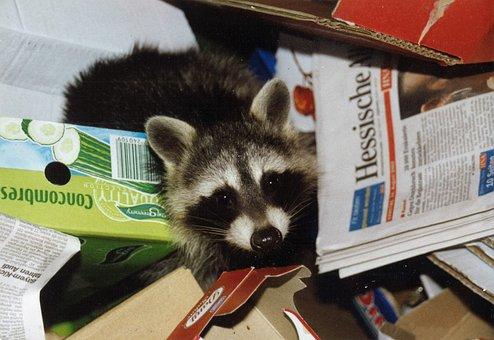 Raccoon, Waste Paper, Garbage, Invasion, Pest