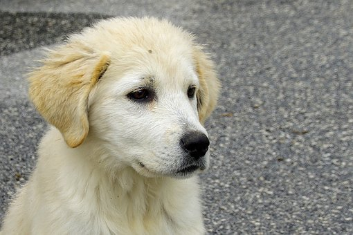 Dog, Maremma, Sheepdog, Puppy, Friend, Confidence, Eyes