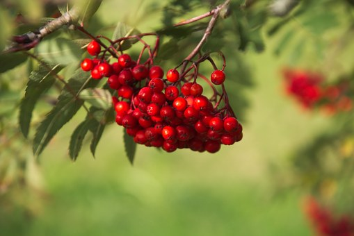 Rowan, Berry, Tree, Plant, Nature, Leaf, Red