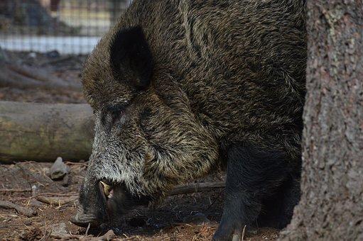 The Boar, Wild Boar, Animal, The Bristles, Hog Wild