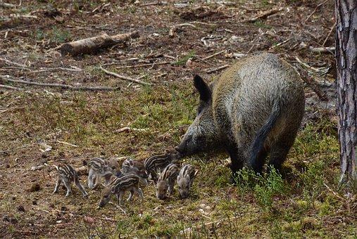 Hog Wild, Wild Boar, Mother, Swine, Sow, Striped