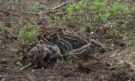 Wild Boar, Piglet, Piggy Bank, Cub, Nature, Spring