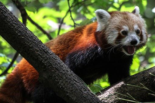 Panda, Ailurus Fulgens, Red Panda, Bear Cat, Fire Fox