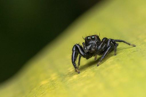 Macro, Bug, Jumping, Nature, Animal, Spider, Salticidae