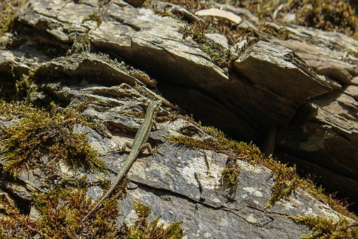 Lizard, Rock, Animal, Creature, Macro, Nature, Reptile