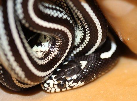 Chain Natter, Lampropeltis Getula, Natter, Snake