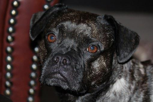 Dog, French Bulldog, Pet, Bulldog, Animal, Snout