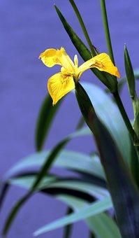 Iris, Marsh, Yellow, Vegetation, Petals, Yellow Flower