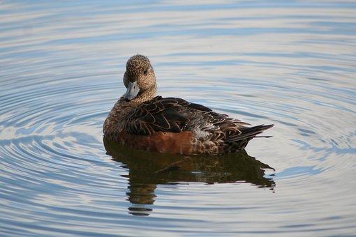 Anas Penelope, Eurasian Wigeon, Animal, Duck, Bird