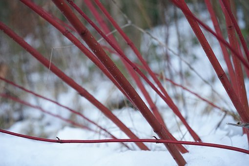 Red Dogwood, Bush, Cornus Sanguinea, Plant, Stalk, Red