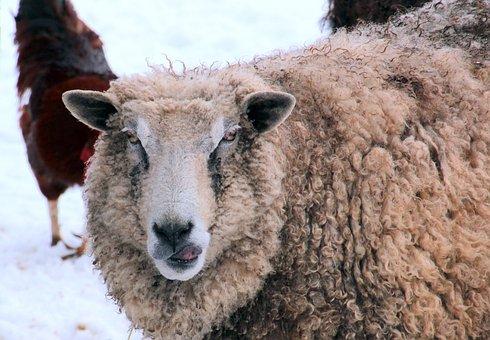 Sheep, White, Animal, Nature, Wool, Livestock, Fur