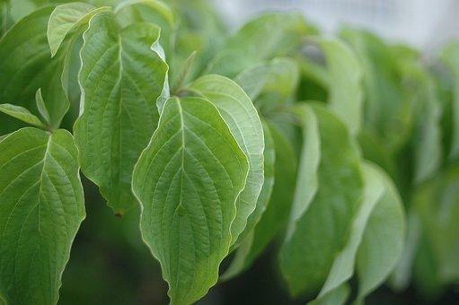 Dogwood, Aoba, Plant, Spring, Natural, American Dogwood