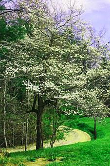Dogwood, Flowers, Trees, Spring, White, Blossom