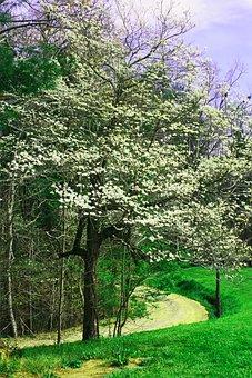 Dogwood, Flowers, Trees, Spring, White, Blossom