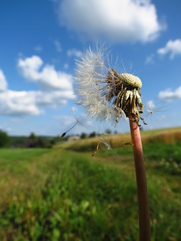 Blowball, Dandelion, Flower, White, Seeds, Withered