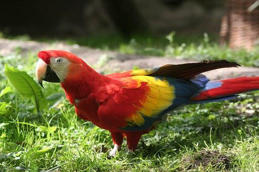 Parrot, Red, Bird, Colorful, Bill, Color, Real Parrot
