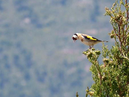 Goldfinch, Singing, Trill, Cypress, Cadernera