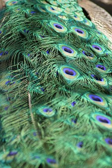 Peacock, Feathers, Tail Feathers, Bird, Green, Blue