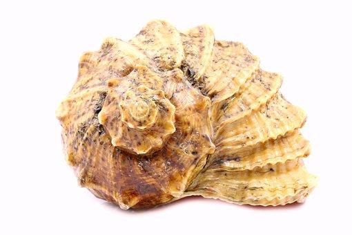 Shell, Sea, Rare, White, Shells, Background, Single