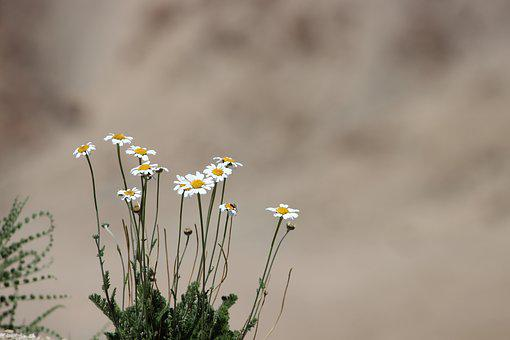 Flower, Ladakh, Dessert, Natural, Environment, Mountain