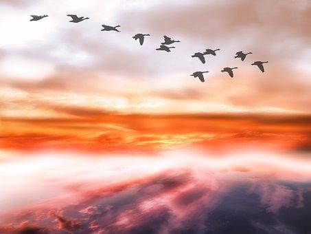 Sky, Clouds, Geese, Flightless Geese, Covered Sky