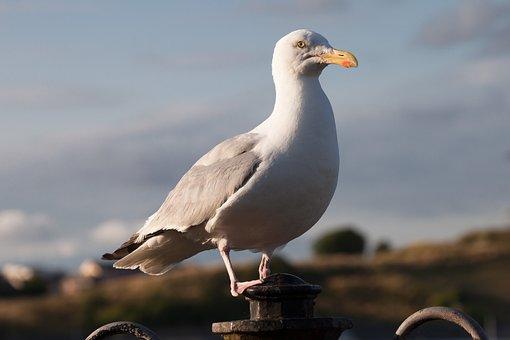 Seagull, Laridae, Bird, Plover Like, Charadriiformes