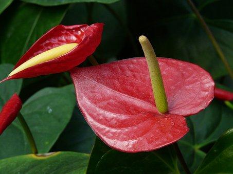 Kleine Flamingoblume, Anthurium Scherzerianum, Flower