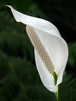 Spathiphyllum, Vaginal Sheet, Flower, Blossom, Bloom