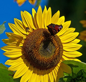 Sunflower, Flower, Butterfly, Painted Peacock, Bee, Osa