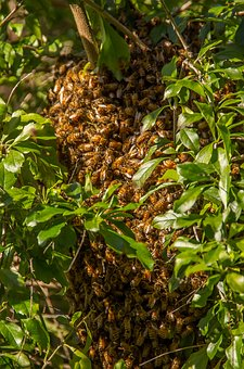 Bees, Swarm, Swarming, Many, Nature, Behaviour, Insects