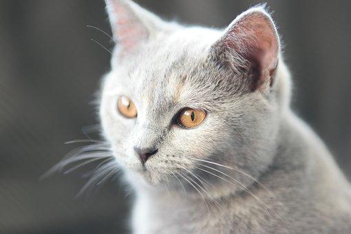 Cat, Britsh Shorthair, Mix Scottish Fold