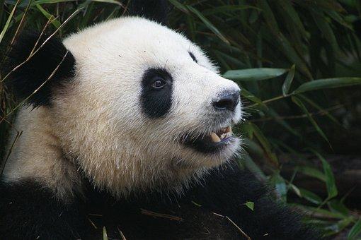 Panda, Bear, Black, White, China, Ch, Chengdu