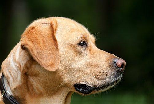Dog, Labrador, Light Brown, Pet, Hundeportrait