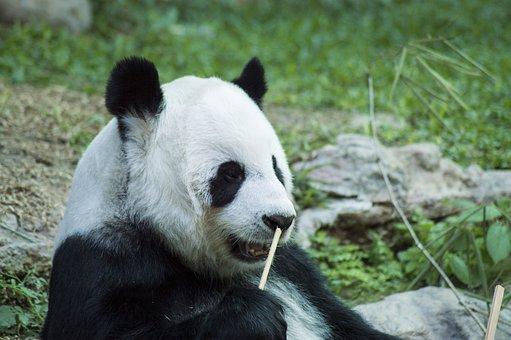 Panda, Cub, Wildlife, Zoo, Cute, China, Mammal, Nature