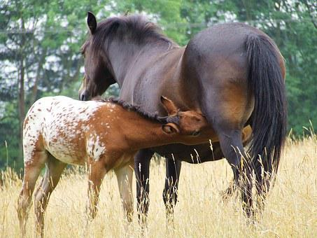 Mare, Maternity, Horse, Foal, Animal, Grass, Herd, Gold