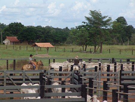 Corral, Boi, Nellore, Cattle, Brazilian Cattle, Herd