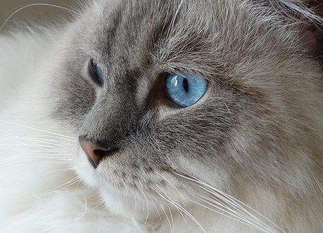 Cat, Remote Access, Ragdoll, Blue, Eyes, Face