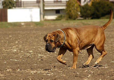 Boerboel, Dog, African, Puppy, To The South, Mammal