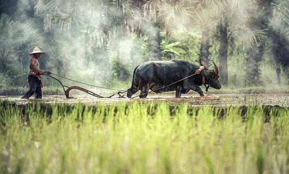Buffalo, Farmer, Cultivating, Agriculture, Asia