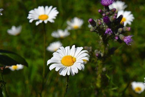Chamomile, Flower, Matricaria Chamomilla, Blossom