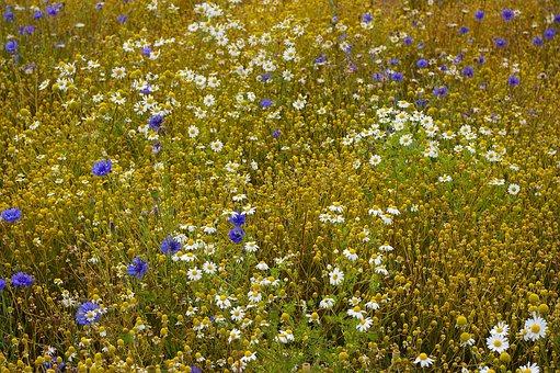 Chamomile Blossoms, Chamomile, Flowers, Herbal Medicine