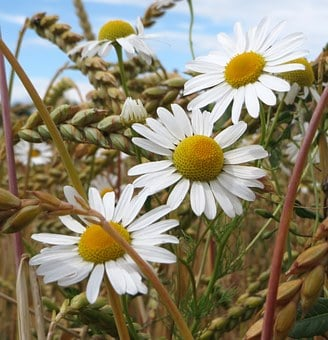 Chamomile, Scentless Chamomile, Flowers, Flora, Mayweed