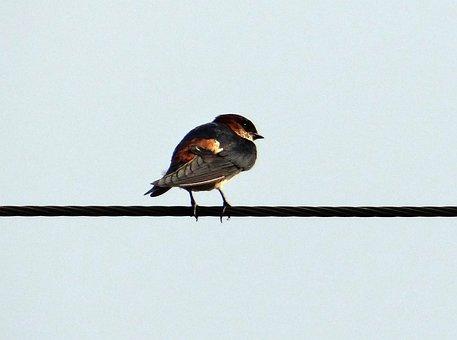 Indian Cliff Swallow, Bird, Swallow, Hirundo Fluvicola